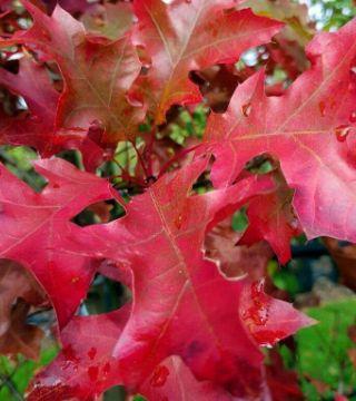 Листия шарлахового дуба