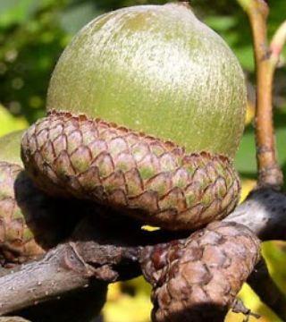 Плоды красного дуба
