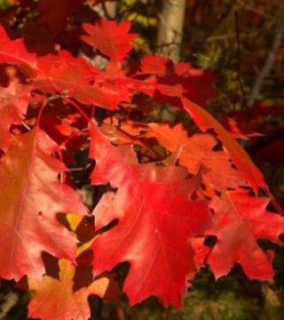Листия красного дуба