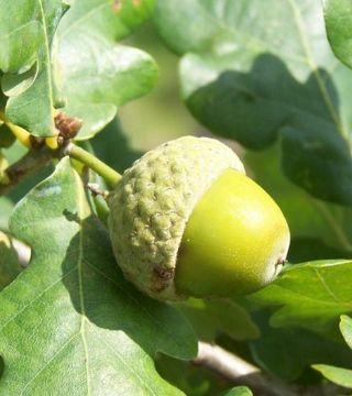 Плоды черешчатого дуба Фастигиата Костер