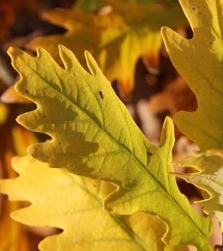 Листья черешчатого дуба Фастигиата Костер