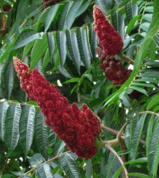 Florile oțetarului rișu Dissecta