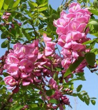 Florile sălcîmului roz