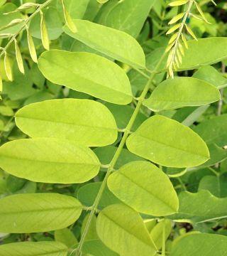 Frunzele sălcâmului Semperflorens