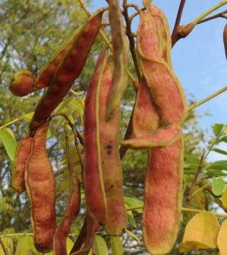 Fructele sălcâmului Semperflorens