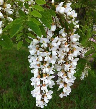 Florile sălcâmului Semperflorens