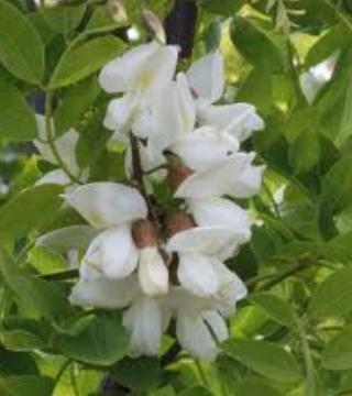 Florile sălcâmului Tortuosa