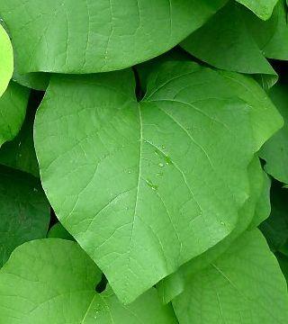Листья крупнолистного кирказона