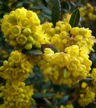 Florile dracilia vesnic verde