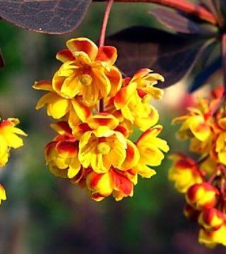 Florile drăciliei japoneze