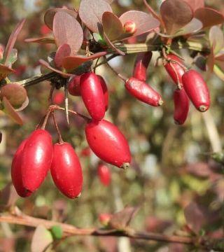 Fructele draciliei pitică roșie