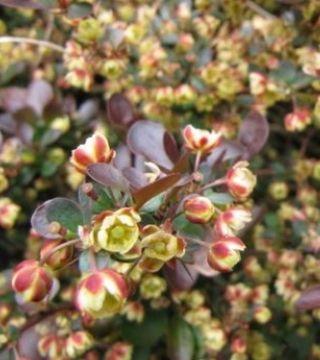 Florile draciliei pitică roșie