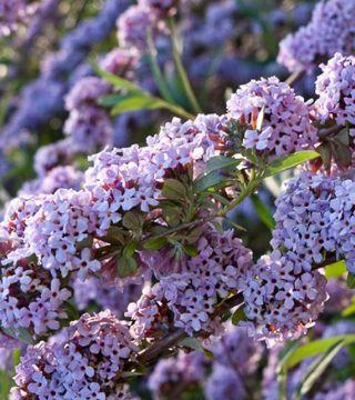 Florile liliacului de varâ