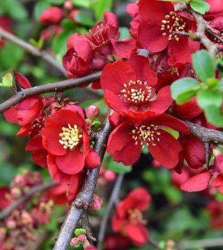 Цветы японского хеномелеса