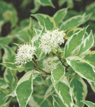 Florile cornului Argenteomarginata