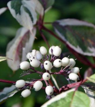 Fructele cornului Argenteomarginata