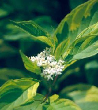 Florile cornului Spaethii