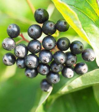 Fructele sânerei Witer Beuty