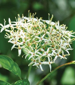 Florile sânerei Witer Beuty