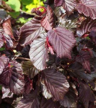 Frunzele alunului roșu