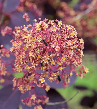 Цветы обыкновенной скумпий Роял Перпл