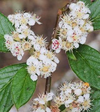 Florile cotoneaster Franchet