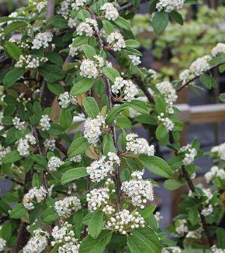 Florile cotoneastera Pendulus