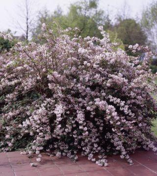 Deutzia cu flori Roz