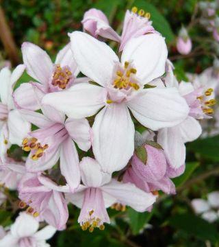 Florile deutzii cu flori Roz
