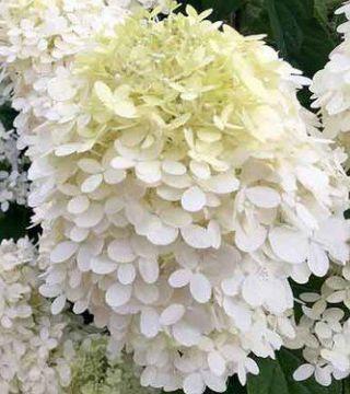 Цветы метельчатой гортензий Грандифлора