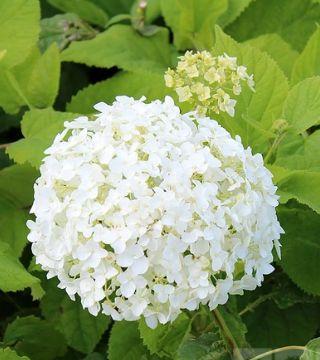 Цветы древовидной гортензий Аннабель