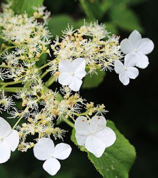 Florile hortenzii cățărătoare