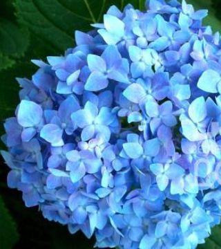 Florile hortenzii paniculată Endless summer