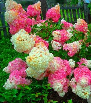 Florile hortensiei paniculată Vanilla Fraise