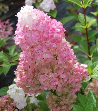 Цветы метельчатай гортензия Сандей Фрейз
