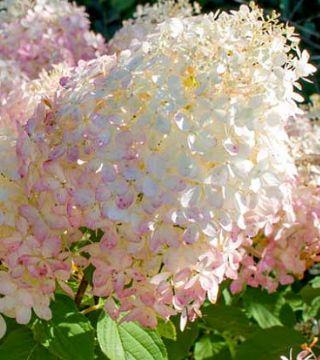 Florile hortensiei paniculată Phantom