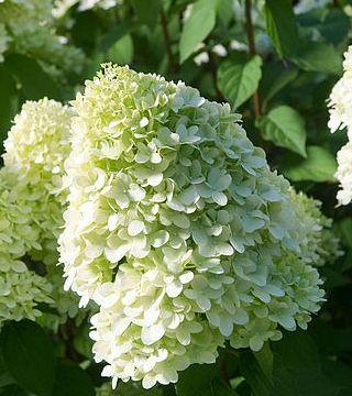 Floarea hortensiei paniculată Limelight
