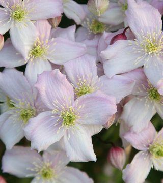 Clematita montana Superba-flori