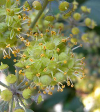 Плющ обыкновенный-цветы