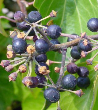 Iederă de gradină- fructe