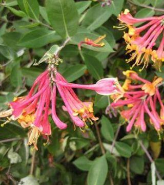 Жимолость Гекротта- цветы