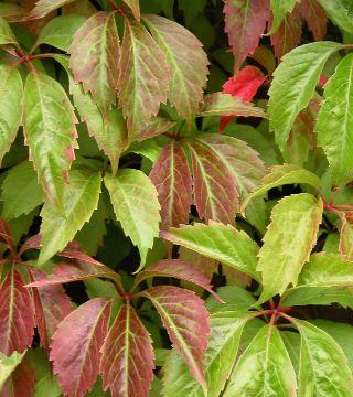 Viță canadiană Engelmannii- frunze