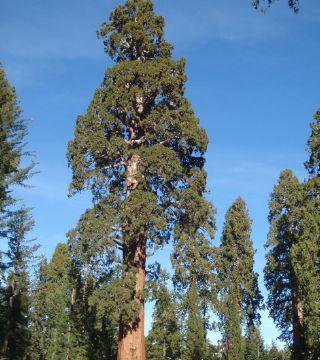 Sequoia gigant