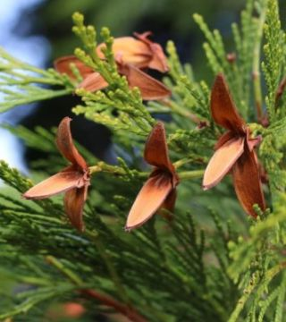 Calocedrus decurrens - conuri