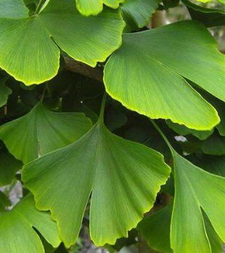 Гинкго двулопастный - листья