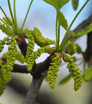 Гинкго двулопастный - цветы