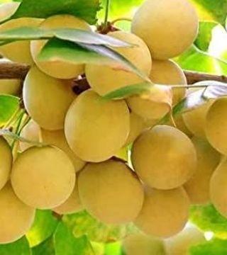 Гинкго двулопастный - плоды