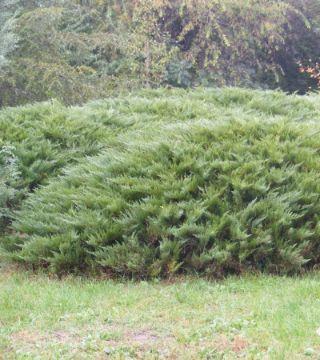Ienuparul Sabina Tamariscifolia