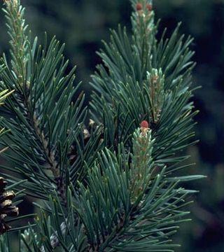 Pin de Pădure - ace
