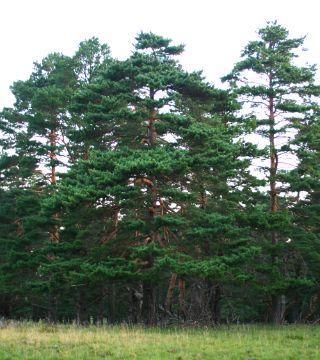 Pin de Pădure